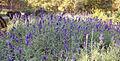 Lavandula - Lavender -Лаванда.JPG