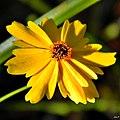 Leavenworths tickseed (Coreopsis leavenworthii) (6462807209).jpg