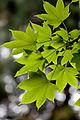 Leaves, Maple - Flickr - nekonomania.jpg