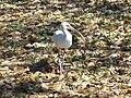 Leesburg FL Venetian Gardens birds07.jpg