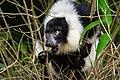 Lemur (25082259867).jpg