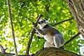 Lemur (36901183866).jpg