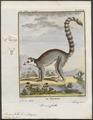 Lemur catta - 1782 - Print - Iconographia Zoologica - Special Collections University of Amsterdam - UBA01 IZ19700037.tif