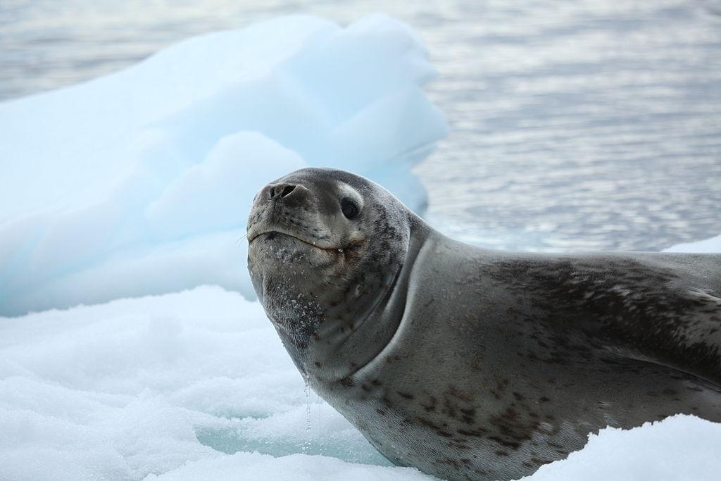 File:Leopard Seal in Pléneau Bay, Antarctica (6059293250 ...