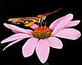 Lepidoptera (17735423201).jpg