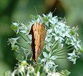 Lepidoptera 003.jpg