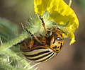 Leptinotarsa decemlineata P1310927a.jpg