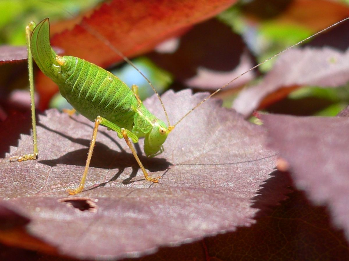 Orthoptera - Wikipedia, la enciclopedia libre