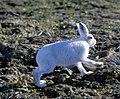 Lepus arcticus 1997-08-04.jpg