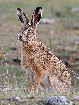 European hare - Image: Lepus europaeus (Causse Méjean, Lozère) cropped