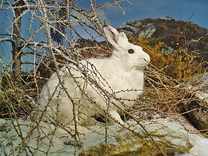 Mountain hare - Stuffed mountain hare, showing the winter pelage