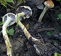 Leratiomyces squamosus var. thraustus (Schulzer ex Kalchbr.) Bridge & Spooner 376765.jpg