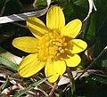 Lesser Celandine (Ranuculus ficaria) - geograph.org.uk - 395458.jpg