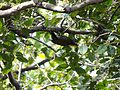Lesser Yellownape - Picus chlorolophus DSC01195.jpg