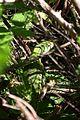 Lezard-vert-broussailles.jpg