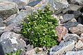 Ligusticum scoticum im Balranald-Vogelschutzgebiet.jpg