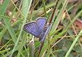 Lilac silverline male Dorsal view IMG 4604.jpg