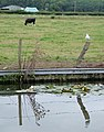 Lilies, seagull, canal and cow - Staffordshire - geograph.org.uk - 1482905.jpg