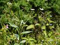 Lilium polyphyllum (7821702408).jpg