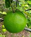 Lime 01.jpg