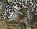 Lime Butterfly (Papilio demoleus) mud-puddling W IMG 0268.jpg