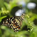 Lime Butterfly Papilio demoleus India.jpg