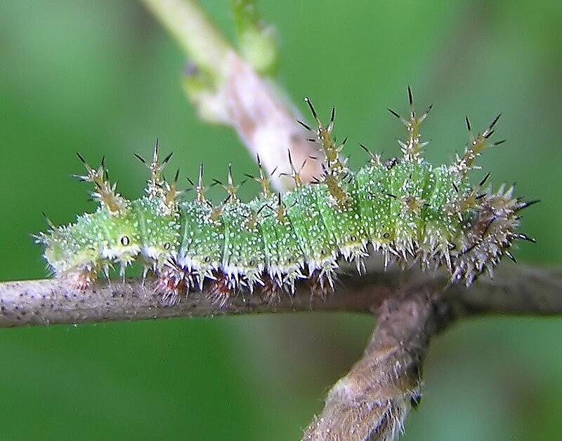Bộ sưu tập cánh vẩy 5 - Page 18 800px-Limenitis_camilla_larva_beentree