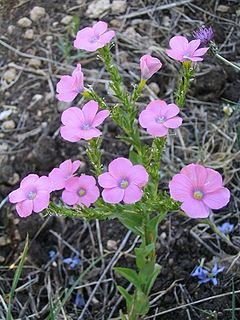 <i>Linum</i> Genus of flowering plants