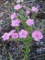 Linum pubescens.jpg