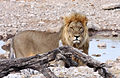 Lion (Panthera leo) (8603270337).jpg