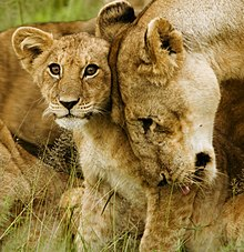 Lion cub with mother - cropped.jpg
