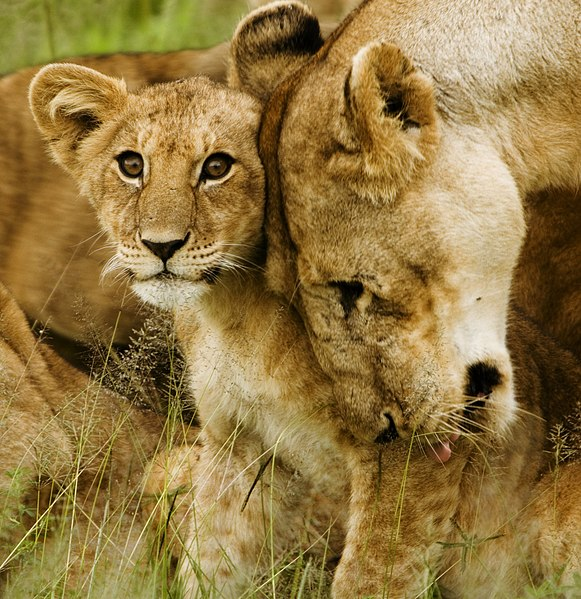 File:Lion cub with mother - cropped.jpg