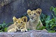 Lion cubs, Seneca Park Zoo, Rochester, NY