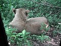 Lion from Bannerghatta National Park 8488.JPG