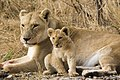 Lioness and cub.jpg