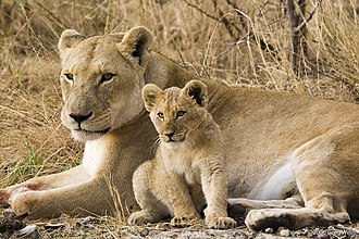 Foraging - Female lions make foraging decisions and more specifically decisions about hunting group size with protection of their cubs and territory defense in mind.