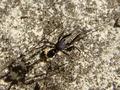 Liophrurillus flavitarsis.png