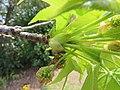 Liquidambar styraciflua bud emerging from its protective imbricate cataphyll scales IMG 2106.jpg