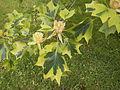 Liriodendron tulipifera 'Aureomarginata' hojas.JPG