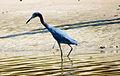 Little blue heron (garça-azul).jpg