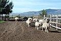 Livestock16.tif (25003288838).jpg