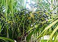 Livistona-chinensis-Palermo04.jpg