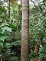 Livistona australis (R.Br.) C.Martius (AM AK299178-4).jpg