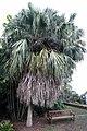 Livistona chinensis 5zz.jpg