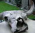 Lobanja stepskog bizona iz pleistocena.jpg