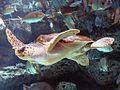Loggerhead Sea Turtle mirror image.jpg