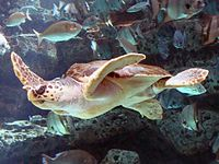 A loggerhead sea turtle swimming in an aquarium.