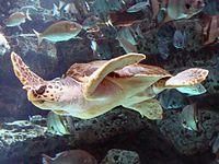 Una tortuga boba nadando en un acuario.