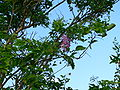 Lonchocarpus punctatus Gwada.JPG
