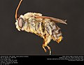 Long-horned bee, male (Apidae, Svastra petulca (Cresson)) (35905714125).jpg